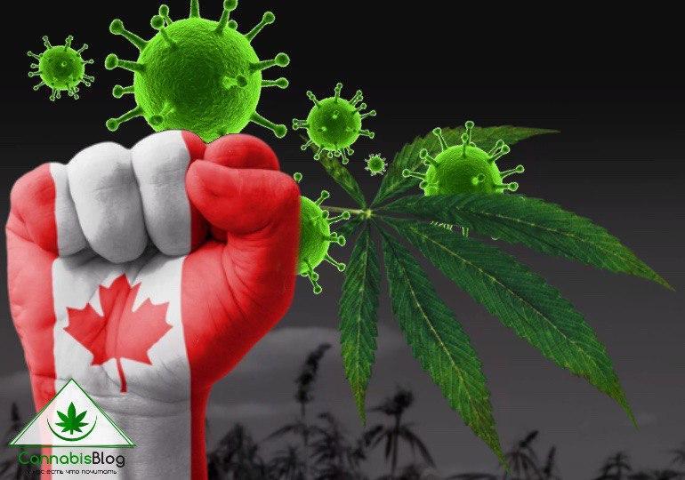 марихуана в Канаде: как на каннабис индустрию повлияла эпидемия коронавируса