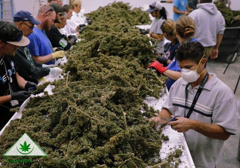 Компании марихуаны в Канаде