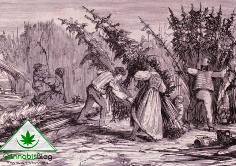 выращивание конопли история
