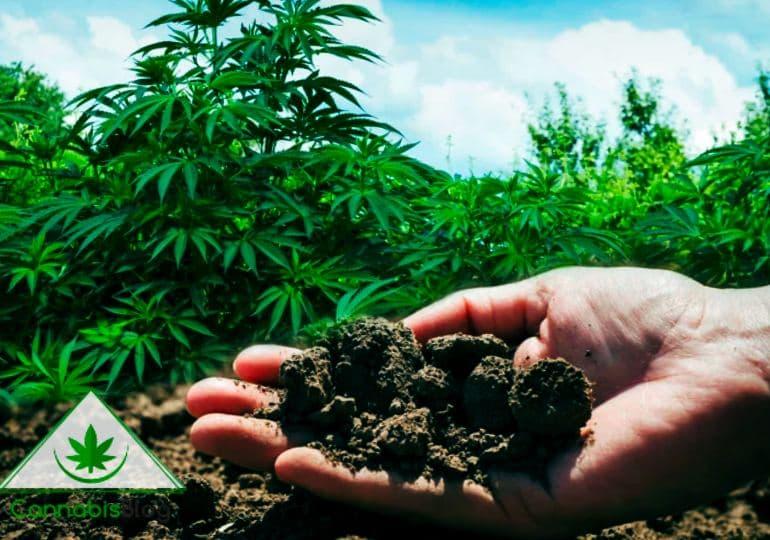 конопля улучшает почву