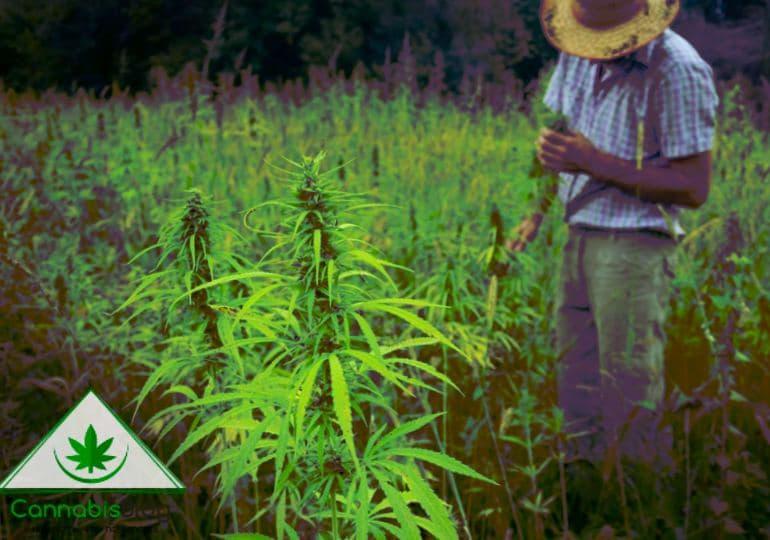 техническая конопля выращивание в штатах